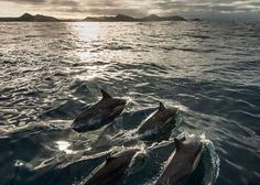 Dolphins off the bow on a sailing trip down the west coast of Tasmania to Port Davey. Image sent in by Peter Hendrie on IG: https://instagram.com/p/BHgvkkrhaD-/