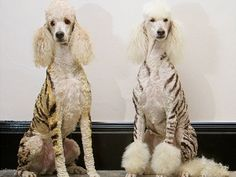 tiger-poodles Who said poodles aren't vicious looking?
