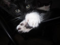 """Take a look at this sleek black kitteh, all decked out with Prosh White Booties! """"This is Jimmy at 9 weeks old, one of a litter of 5 who all got named after characters in """"Call the Midwife."""" Taken ..."""