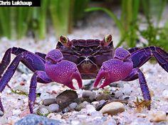 geosesarma dennerle Ce crabe vampire Geosesarma dennerle, originaire de l'île de Java, tient son nom de ses yeux jaunes. Mais le plus impressionnant reste ses belles pinces mauves. © Chris Lukhaup