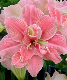 """The Amaryllis """"Sweet Nymph"""" is a flower with romantic charm and detail. Just look at the layers of creamy white petals with sweet pink stripes. The Amaryllis is a bulb flower that can be planted in a garden or in a pot. Beautiful and stunning. Unusual Flowers, Amazing Flowers, Colorful Flowers, Pink Flowers, Beautiful Flowers, Pink Petals, Flower Pictures, Trees To Plant, Beautiful Gardens"""