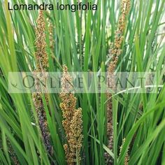 Buy Lomandra Longifolia Mat Rush online from online plants Melbourne. Lomandra Longifolia Beautiful foliage plant which can be used around ponds or as a border.