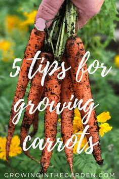 Vegetables Gardening Growing carrots is something to add to your bucket list. There's nothing like pulling a homegrown carrot from the earth, rinsing it with a hose, and eating it in the garden. Here are five tips for growing carrots. Vegetable Garden Tips, Starting A Vegetable Garden, Veggie Gardens, Growing Carrots, Growing Vegetables, Gardening Vegetables, Root Vegetables, Backyard Garden Design, Garden Bed