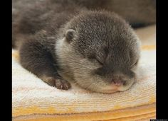 Baby otter 2-month-olds born in early January at Aquarium Kaiyukan in Osaka, Japan.