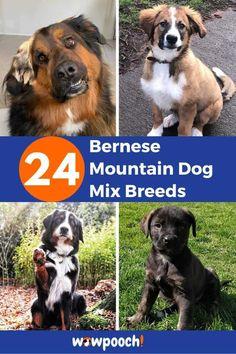 list Of Bernese Mountain Mix Breed Dogs  #1 American Bernese – (Bernese Mountain Dog x American Bulldog Mix) From:Instagram  Read: 33  American Bulldog Mix Breed Dogs  #2 Bergle – (Beagle x Bernese Mountain Dog Mix) From:Instagram  #3Bernakita– (Akita Inu X Bernese Mountain Dog Mix) From:Instagram  #4Bernedoodle– (Bernese Mountain Dog … 24 Bernese Mountain Dog Mix Breeds Read More » French Bulldog Mix, American Bulldog Mix, Bernese Mountain Dog Mix, Mountain Dogs, Friendly Dog Breeds, Dog Crossbreeds, Mastiff Mix, Rottweiler Mix, Bulldog Breeds