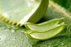 Recenti studi sulle proprietà anti tumorali dell'aloe arborescens - Dieta e Nutrizione Dr. Bianchini