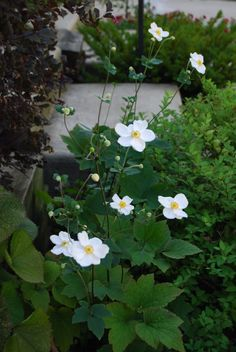 Japanese anemones. H 1, S 1. Flowers white or pink late summer. Full sun, partial shade.