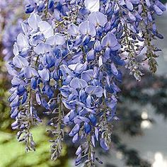 Blue Moon Reblooming Wisteria...beautiful blue color and can bloom up to three times a year in the full sun.