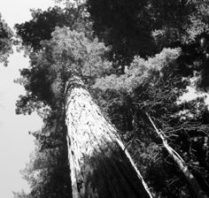 Photography Black and White Print Redwood by WildInspirationPhoto, $25.00