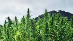 REGULATION IS SQUEEZING OUT POTREPRENEURS, CLEARING THE ROAD FOR BIG CANNABIS
