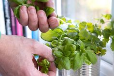 Make herbs like chives, parsley and basil last longer by picking the right way…