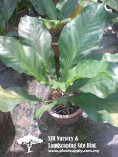 S050501Jungle Bush(Anthurium Plowmanii)