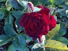 Black Bacara rose