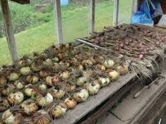 drying onions