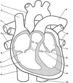 Circulatory system worksheet doc