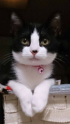 Beautiful Tuxedo Cat! she is precious, so pretty.