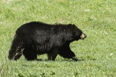 A huge black bear walking across a field in the Smoky Mountains Animals And Pets, Cute Animals, Cinnamon Bears, American Black Bear, Bear Hunting, Love Bear, My Animal, Spirit Animal, Beautiful Creatures
