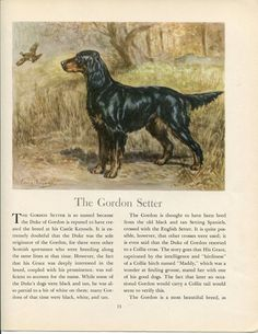 Gordon Setter Vintage Dog Illustration Edwin Megargee by RoxyRani