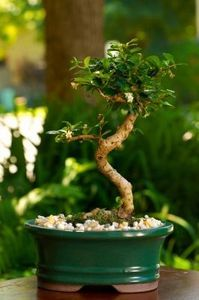 How to grow a bonsai from cuttings
