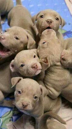 The very best of Rabbit Carrier's pins - Pitbull puppy litter. Don't they look vicious? Cute Puppies, Cute Dogs, Dogs And Puppies, Doggies, Pit Bull Puppies, Brown Puppies, Baby Dogs, Newborn Puppies, Puppies Tips