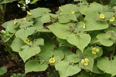 upright wild ginger.............Wild Ginger- ground cover and edible seasoning  SHADE