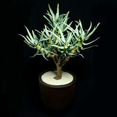 """""""アロエ ラモシシマ Aloe ramosissima #aloe#アロエ #succulent"""" Photo taken by @copiapoa8 on Instagram, pinned via the InstaPin iOS App! http://www.instapinapp.com (04/03/2015)"""
