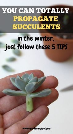 5 great tips will have you well on your way to growing many new starter plants from the plants you already own.These 5 great tips will have you well on your way to growing many new starter plants from the plants you already own. Propagating Succulents, Growing Succulents, Succulent Gardening, Succulent Care, Cacti And Succulents, Growing Plants, Planting Succulents, Organic Gardening, Container Gardening