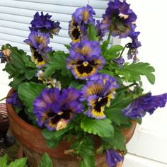 Double Pansies -- these are great!