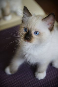 FB: Maru the Cat, Ragdoll PL #ragdoll #kitten #cute #cat