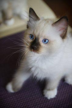 FB: Maru the Cat, Ragdoll PL #ragdoll #kitten #cute #cat