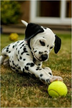 Dalmatian pup playing with tennis ball.