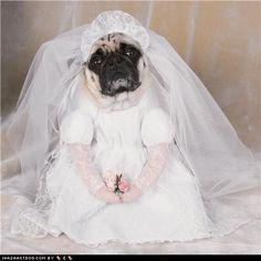 Pug bride