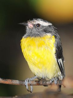 Sugar Bird - The sugarbirds make up a small genus, Promerops, and the family Promeropidae, of passerine birds which are restricted to southern Africa.
