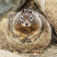Rodent Kingpins.. this guy is like Jabba the Hutt. He'll be kidnapping Jedi any day now.