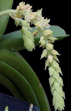Saccolabium pilosulum ~ Orchidee