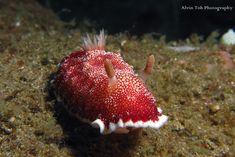 Chromodoris Reticulata,sea slug