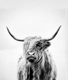 | PHOTOGRAPHY | portrait of a highland cow - vertical orientation by request Canvas Print