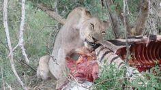 Lioness with her kill. #madikwe #southafrica #wildlife #bigfive #lion #lions #lioness #südafrika #africa #africanwildlife #circleoflife #kill