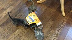 Savannah Kitten, Savannah Chat, Kittens, Cats, Exotic, Animals, Cute Kittens, Gatos, Animales