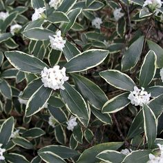 variegated daphne purple buds to pink-to-white blooms in early spring, it perfumes the entire garden, then remains attractive all year, with dark green foliage neatly outlined in brightest gold. Spring Plants, Plants, Urban Garden, Daphne Plant, Variegated, Trees And Shrubs, Shrubs, Fragrant Flowers, Shade Shrubs