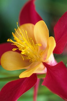 ~~Columbine by David M. Cobb Photography~~
