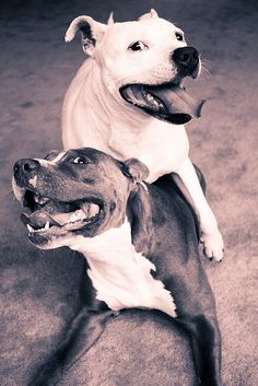 Pit Bulls playing