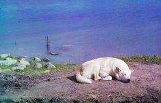 "A dog rests on the shore of Lake Lindozero in 1910. From the album ""Views along the Murmansk Railway, Russian Empire"""