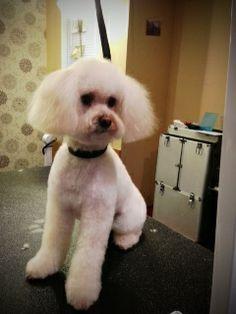 maplestory female hairstyles : maltipoo haircuts MALTIPOO HAIRCUTS STYLES