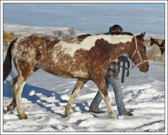 A BLM Mustang Pintaloosa from the herd in Burns, Oregon.