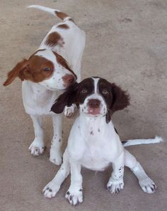 brittany spaniels | Brittany Spaniel Puppy Pictures by Sebastian