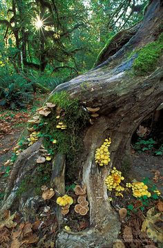 Mushrooms and mosses on tree trunk, Hoh Rainforest, Hall of Mosses Trail, Olympic National Park, Washington.