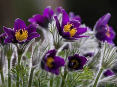 pasque flower photos 50 state flowers do you know what yours is