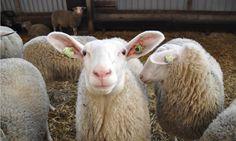 De nieuwsgierige schapen van FarmCamps Mariekerke