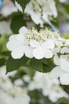 Viburnum 'Kilimanjaro Sunrise' won Plant of the Year at the 2015 Chelsea Flower Show. This beautiful shrub has white blooms from early summer, followed by red berries in autumn. Discover more viburnums: http://www.gardenersworld.com/plants/search/name/viburnum/
